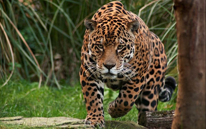 jaguar-cazando